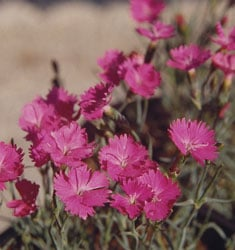 fw_plant_dianthus_firewitch
