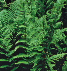 fern Dixie wood