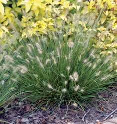 fountain grass dwarf little bunny