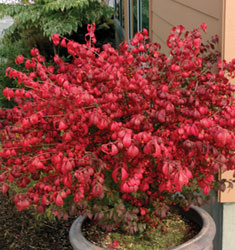 fw_plant_euonymus_burning_bush