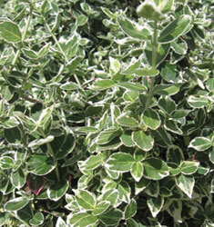 fw_plant_euonymus_emerald_gaiety