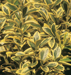 euonymus moonglow