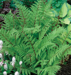 fw_plant_fern_lady_in_red