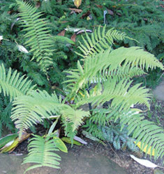 fern shaggy shield