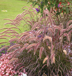 fountain grass purple