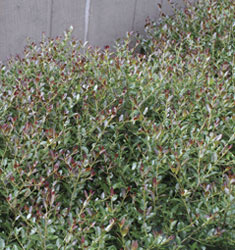 fw_plant_holly_bordeaux