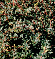 fw_plant_holly_hellers_japanese