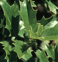 fw_plant_holly_oakleaf
