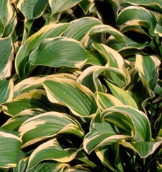 fw_plant_hosta_wide_brim