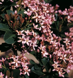 indian hawthorne snow pink