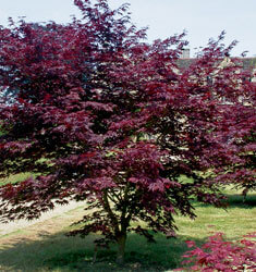 fw_plant_japanese_maple_bloodgold