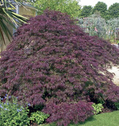 fw_plant_japanese_maple_burgundy_lace