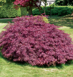 maple japanese crimson queen