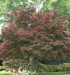 maple japanese dwarf red