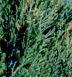 fw_plant_juniper_blue_point