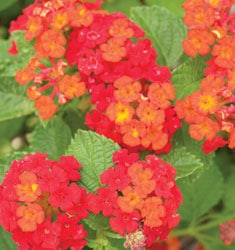 lantana dallas red
