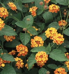 lantana radiation bush
