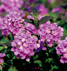 lantana trailing purple