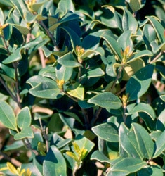 ligustrum curly leaf