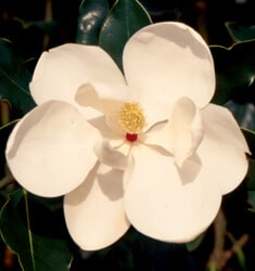fw_plant_magnolia_little_gem