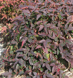 nandina harbor belle