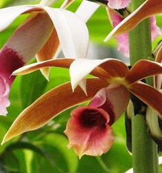 fw_plant_nuns_orchid