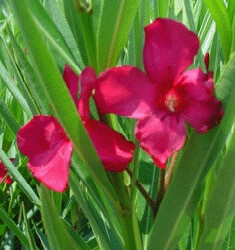 fw_plant_oleander_cardinal_red