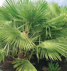 fw_plant_palm_windmill