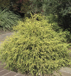cypress pauls gold mop
