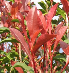 photinia red top