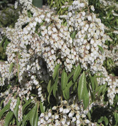 fw_plant_pieris_japanese