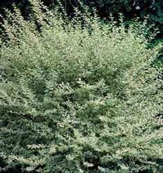 fw_plant_privet_variegated
