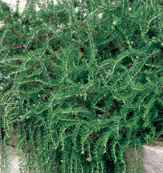 fw_plant_rosemary_prostrate