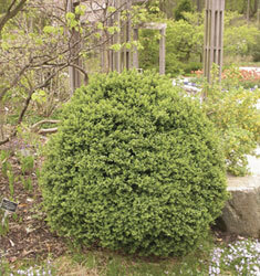 boxwood suffruticosa