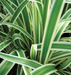 fw_plant_variegated_flax