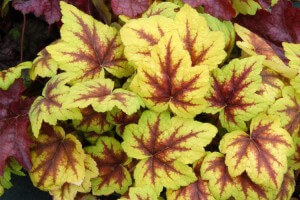 heucherella_stoplight_3b