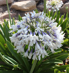 southern_living_plants_agapanthus_queen_mum