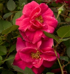rose shrub all a flutter