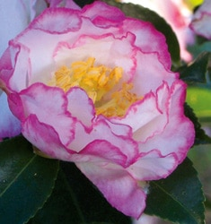 camellia October magic inspiration