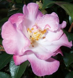 camellia October magic orchid