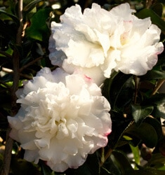 southern_living_plants_camellia_october_magic_snow