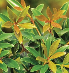 southern_living_plants_cleyera_bronze_beauty