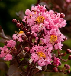 southern_living_plants_crapemyrtle_delta_jazz