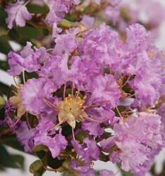 crapemyrtle early bird lavender