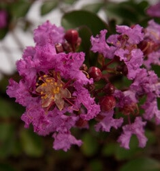 crapemyrtle early bird purple