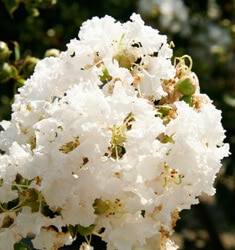 crapemyrtle early bird white