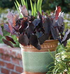 southern_living_plants_dwarf_elephant_ear_little_black_magic