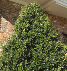southern_living_plants_holly_oakland