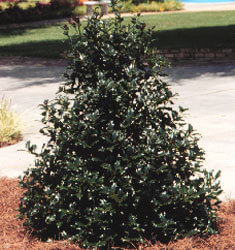 southern_living_plants_holly_robin