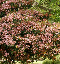 southern_living_plants_indian_hawthorne_rosalinda
